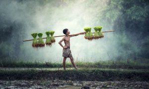 Raccoglitore di riso